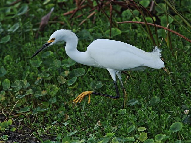 Snowy Egret 20131210