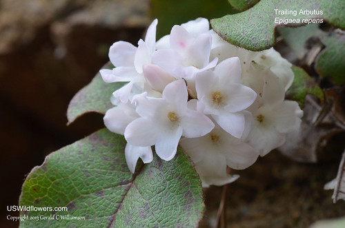Trailing Arbutus, Ground Laurel, Mayflower, Plymouth Mayflower - Epigaea repens