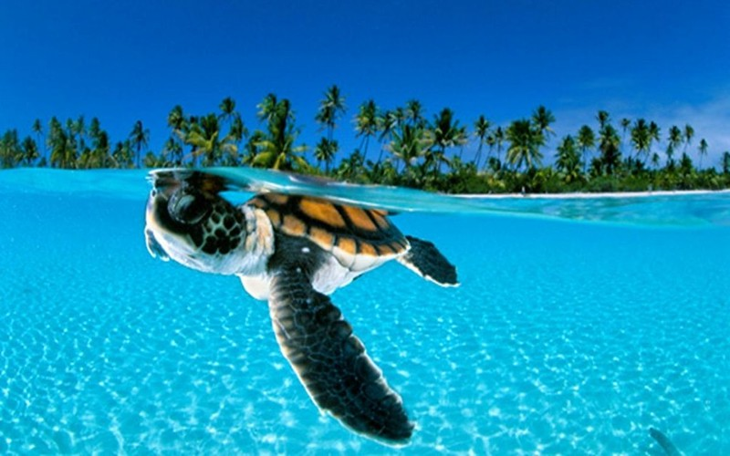 tortuga-del-caribe-