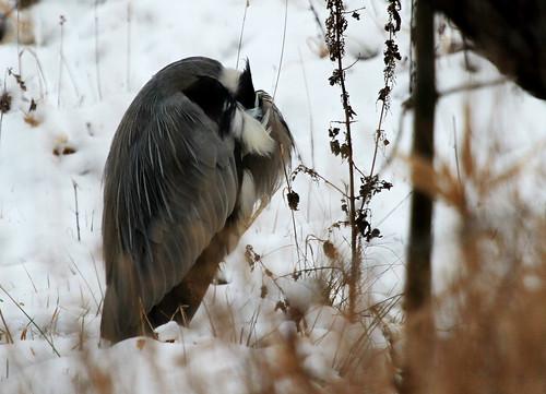 Graureiher im Wintermantel