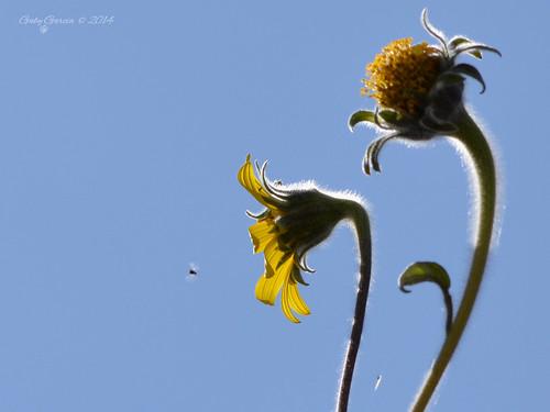 flowers naturaleza flores nature méxico insect nikon insecto nikond3200 sanluispotosí 55300mm gabygarcía