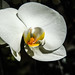 White Orchid 3/14