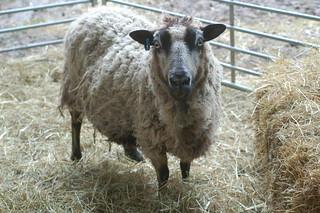 Shetland Ewe