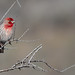 House finch. HUOE6334 by Peacefulbirder