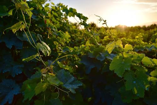 georgia kakhetiregion napareuli sunset vineyard vintner winery