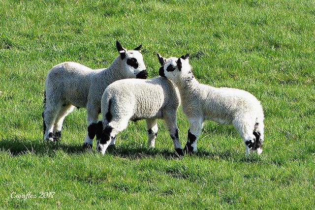 Lammetjes - Lambs - Kerry Hill sheep.