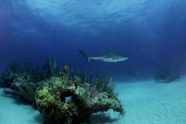 shark over reef-