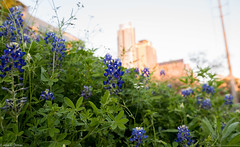 Bluebonnets in the city