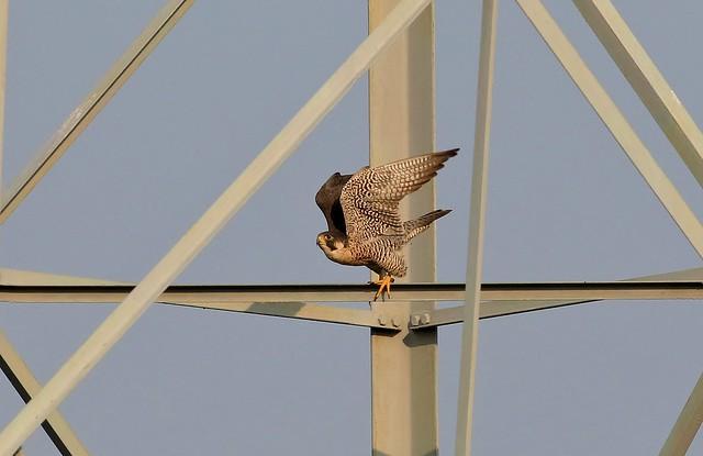 703_7755 遊隼 Peregrine Falcon