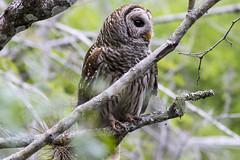 Barred Owl in it's natural habitat
