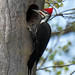 Pileated Woodpecker by ChrisOlson333