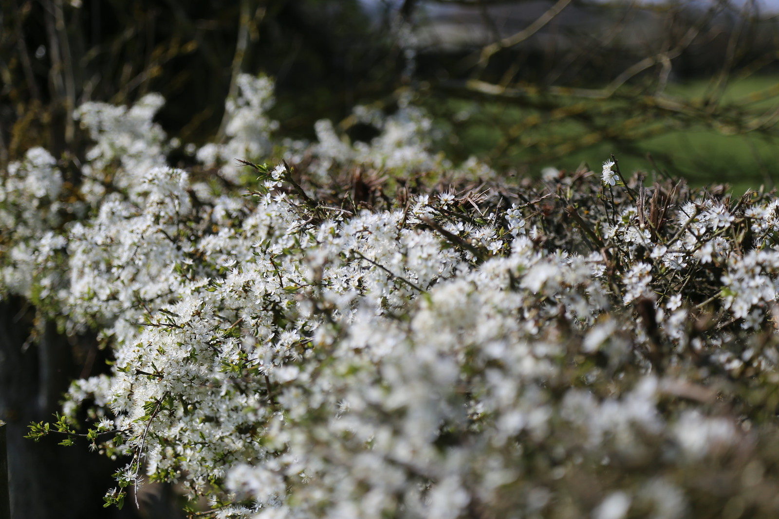 Blackthorn Bush