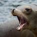 Sea Lion by geraintparry