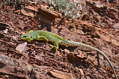 Jewelled Lizard (Timon lepidus) female (found by Jean NICOLAS)