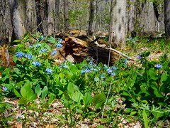 Indian Point and Virginia Bluebells