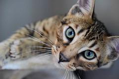 F5 SBT Savannah cat, Leo