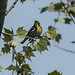 Yellow-throated Warbler by ChrisOlson333