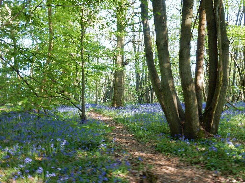 Bluebells with path Cuxton Circular