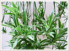 Baby Spider Plants of Chlorophytum comosum 'Variegatum' (White/White-edged Spider Plant, Variegated Spider Ivy, Ribbon/Airplane Plant)
