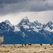 Bison, Tetons, and Storm