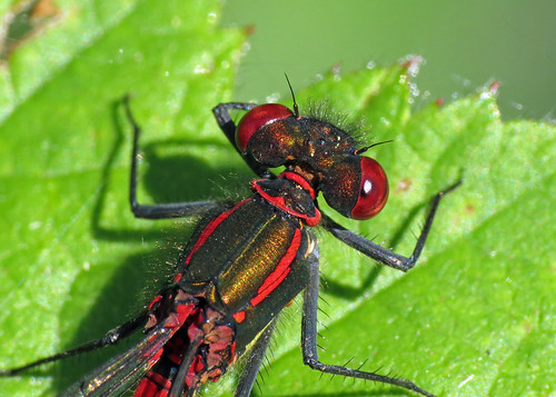 Large Red Damsefly - Pyrrhosoma nymphula
