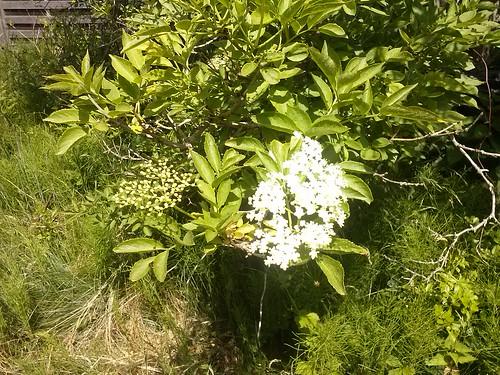 Daily elderflower #20