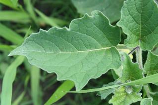 Clammy Leaf