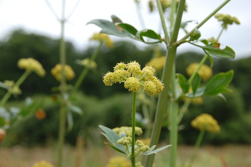 flowers of the lovage