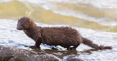 a mink standing on a rock