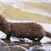 Small photo of American Mink, Centre Island, Toronto, ON
