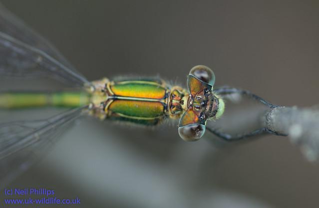 Emerald damselfly Lestes sponsa-16
