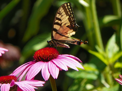 echinacea8