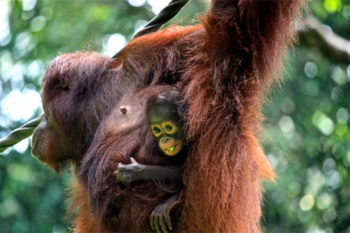 looks like the baby orangutan got his fair share
