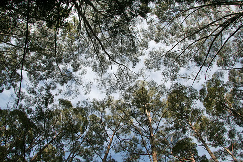 20130822_0889 Middle Brother State Forest canopy