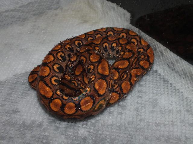 herpforum baby 04 male