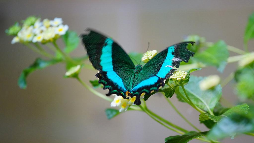美洲鳳蝶 Papilio palinurus-2