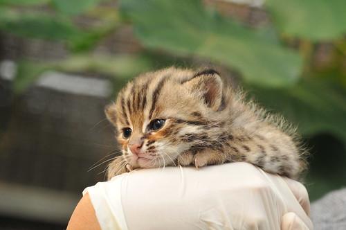 貓科石虎萌翻天,卻因與雞農衝突以及道路開發而受害。(圖片來源:林育秀提供)
