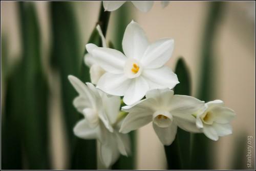 Narcissus paperwhite