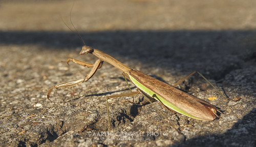 november detail closeup insect 1st pennsylvania wildlife ashley saturday textures asphalt prayingmantis nepa luzernecounty wyomingvalley 2013 ashleyborough