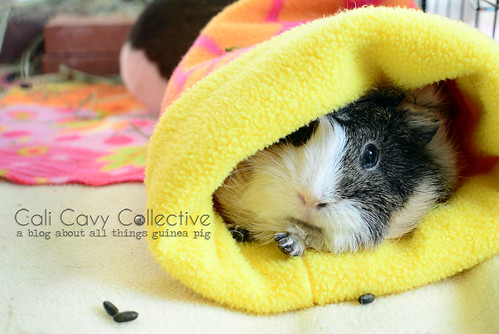 4 Easy Steps to Preparing Fleece for Your Guinea Pig. Guinea pig Poof sleeping in a fleece cozy