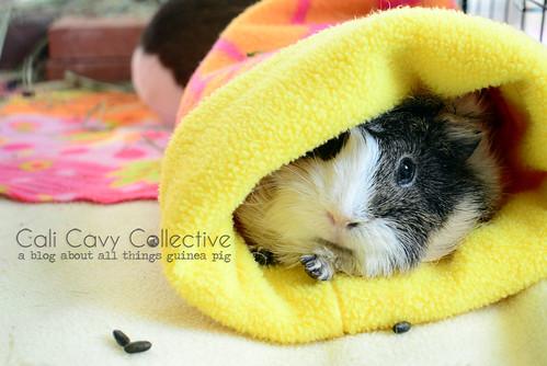 Sleepy guinea pig Poof