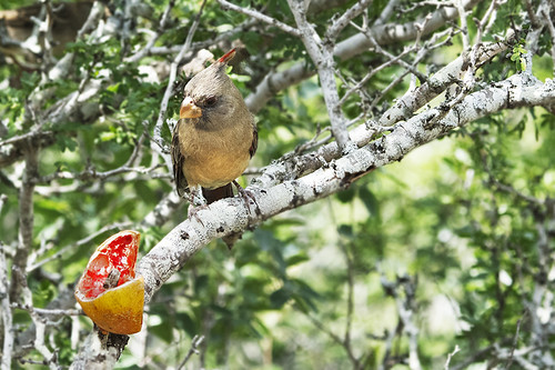 Texas: Pyrrhuloxia, female, Pondering Lunch