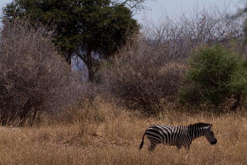 elephant tree tanzania olive bean zebra giraffe baboon baobab waterbuck tangire
