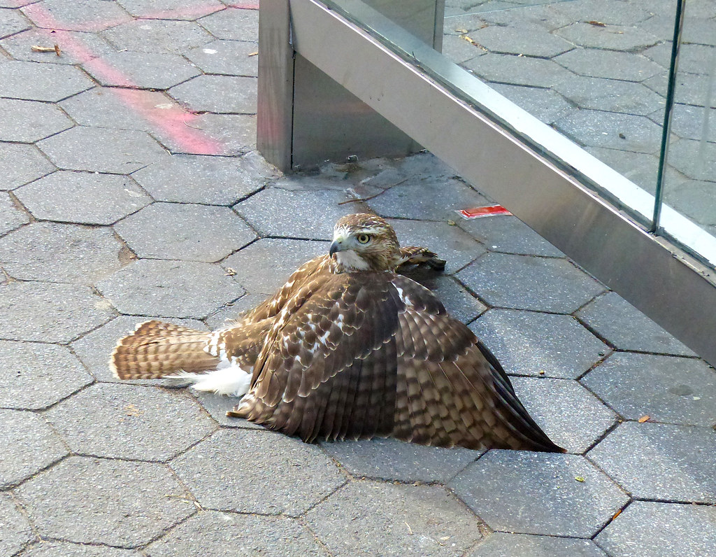 Red tail hits glass bus stop