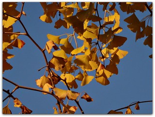 """Ginkgo leaves are usually notched only from the outer edge."""