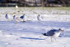 December 7, 2013 - Gulls
