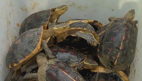 被裝箱運送的保育龜。