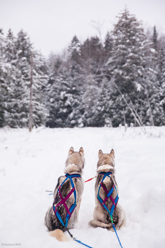 Husky dogsledding in Haliburton forest