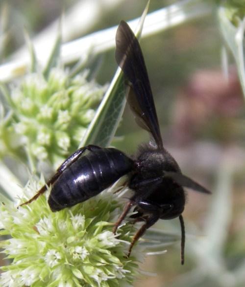 Andrena pilipes 12516645473_42f1bed87e_o