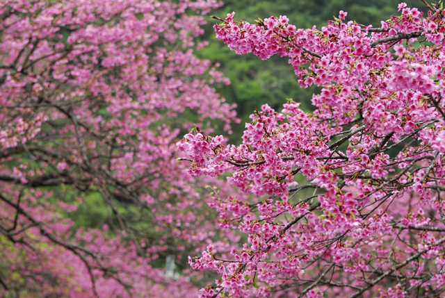4.Cherry Blossoms_the earliest deep pink cherry blossom